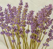 Lavendelblomma